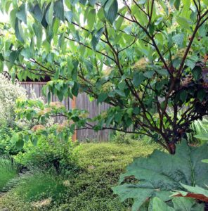 Cornus Controversa 'June Snow' as a border tree in NW Portland