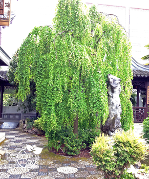 Weeping Katsura tree has similar texture to Birch
