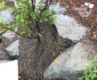 Irrigation solution for drought tolerant manzanita in NE Portland landscape design.