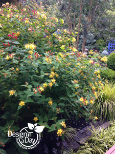 Hypericum f. uniflorum 'Citrinum' for Rose City Park neighborhood garden, Portland, Oregon