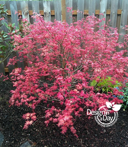 Colorful small tree for Woodstock neighborhood backyard