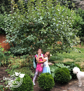 Dwarf Apple Tree (Liberty ) with fruit in Cedar Hills Portland Landscape Design