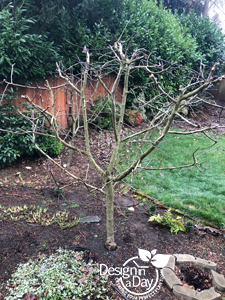 Portland area landscape design with Dwarf Liberty Apple Tree pruned in Cedar Hills Oregon.