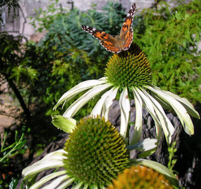 Butterfly on Echinacea 'White Swan'