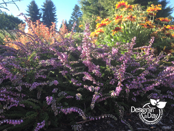 "Calluna vulgaris - Summer heather is 4"" inches tall with summer flowers in Woodland Park Landscape Design"