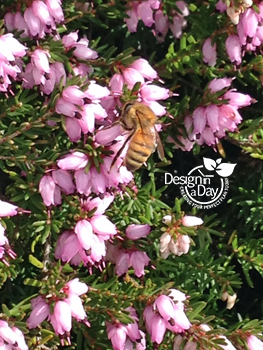 Honey bee on spring heather in Sellwood Moreland garden design