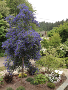 Ceanothus grown as a tree in Willamette Heights entry