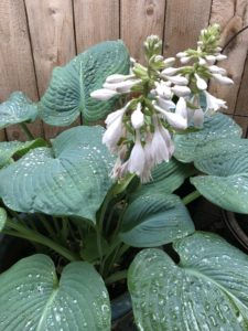 Hosta flowering in June in Roseway neighborhood backyard garden.