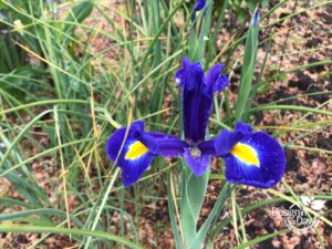 Purple and gold iris brighten Beaumont front yard in Portland Oregon
