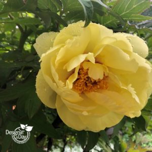 Deep but mellow colored yellow Peony in Beaumont entry landscape
