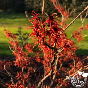 Witch hazel adds winter interest for Portland home landscaping.