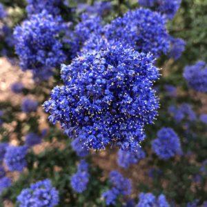Portland wildlife friendly pollinator - California Lilac.