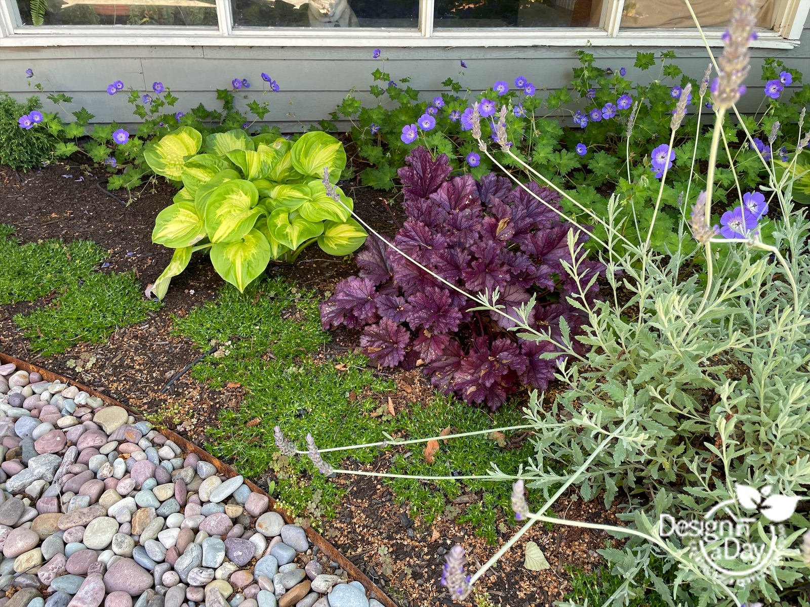 Colorful plantings in front entry landscape design in Portland Oregon include stepable plant Azorella trifurcata in foreground.