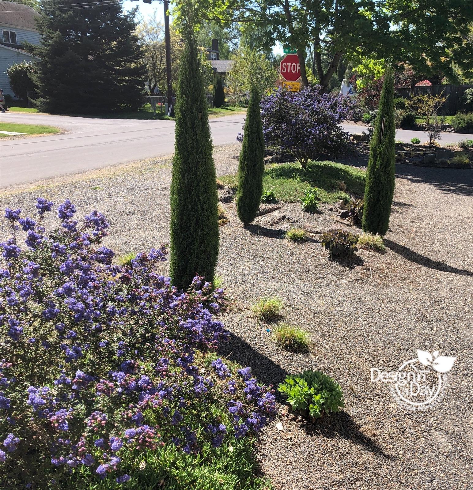 drought tolerant landscape design includes california lilac and italian cypress.