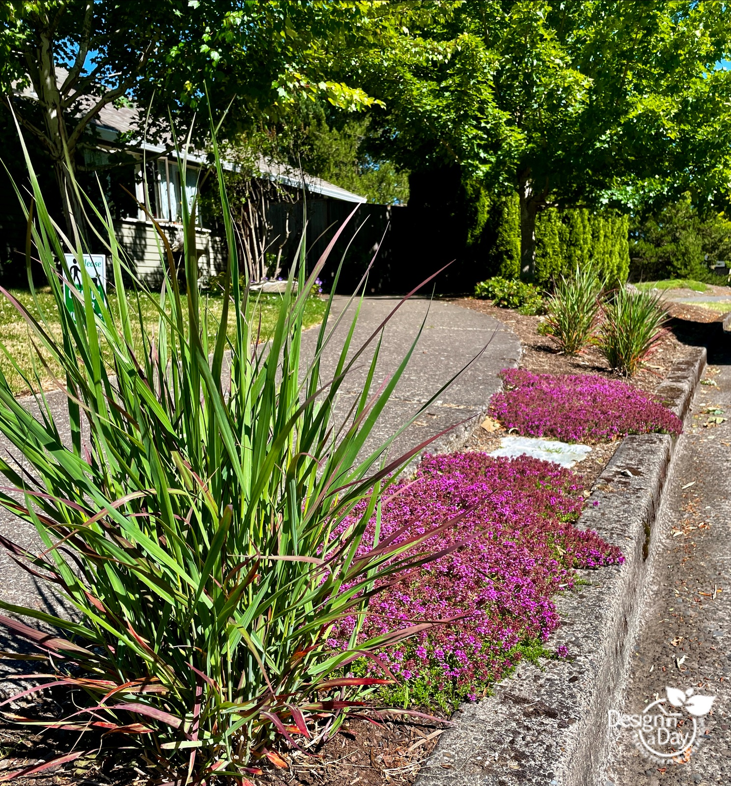 Hellstrip plantings include thyme and switch grass in parking strip Portland Oregon
