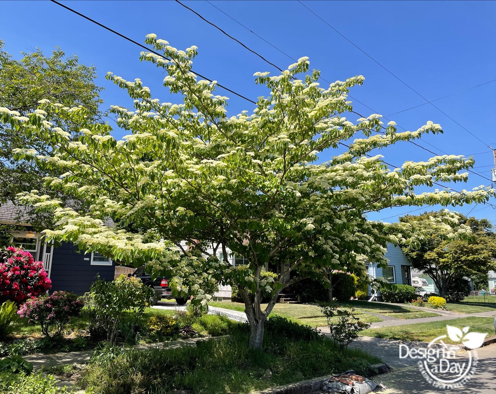 Overlook neighborhood has Dogwood 'June Snow' in parking strip - close up of flower.