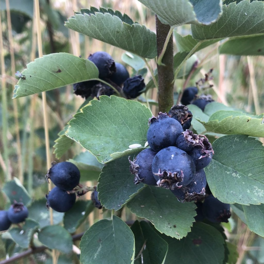 A nw native plant that provides food for the birds.