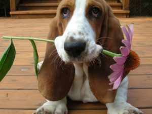 Basset Hound with Echinacea flower in his teeth Portland Oregon