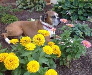 Roxy laying in the flower bed