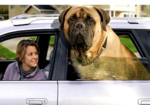 An English Mastiff can be hard on your landscaping more than other dogs.