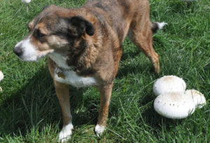 Dog with mushrooms