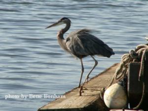 Blue Heron entertains Portland landscape designer
