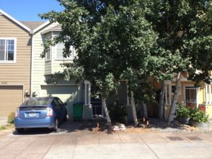 Front yard of North Portland Row House is lost to Aspens aggressive growth habit.