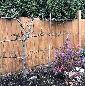 Espaliered pear tree in Portland garden design.
