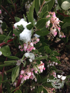 Flowers for pollinators in winter from snow tipped Arctostaphylos in North Portland