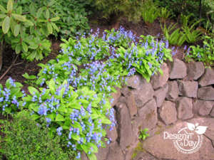 Bright blue Navel Wort Omphaloides cappadocia graces this stacked boulder wall in NW Portland's Willamette Heights.