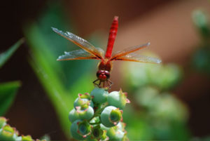 Dragon Fly visits blueberry plant in Lori's garden