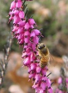 Erica Carnea - Early Spring Flower Color attracts honey bee. Used in Portland residential landscape design.