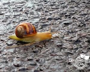 California Brown Snail in Portland, OR