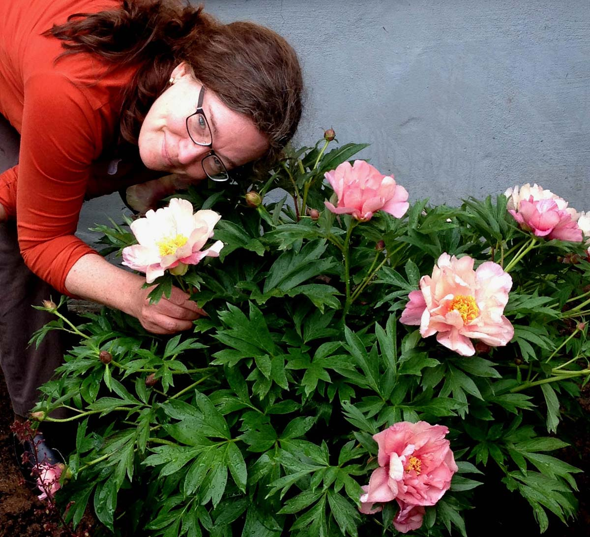 Landscape Design In A Day: Huge Happy Flowers On Itoh Peony