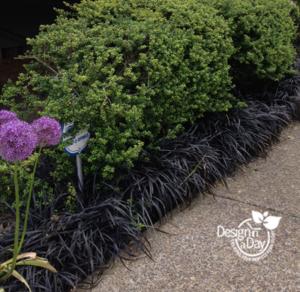 Portland Landscape Designer likes Black Mondo Grass