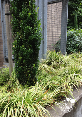 Modern low maintenance Landscape Design Portland Carex m. 'Ice Dance' ornamental grass contrasts with Ilex crenata 'Sky Pencil'