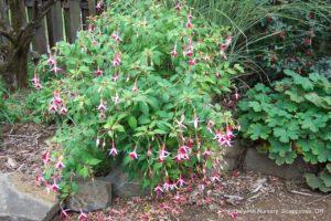 Fuchsia 'Chickadee'