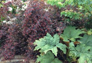 Rhubarb makes a dramatic and tastey addition to designer pal Adriana Berry's garden.