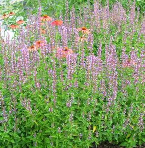 Agastache 'Summer Skies' Hummingbird Mint