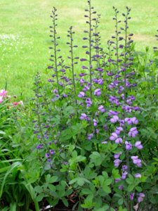 'Purple Smoke ' Baptista - perfect for Portland Landscape Designs