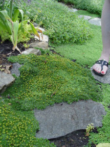 Azorella t. 'Nana' Cushion Bolax steppable ground cover in Rose City Park landscape design.