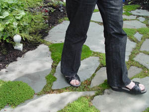 Portland landscape designer walking on stepable plants