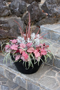 Heuchera softens the edges of pots beautifully for a modern landscape design.