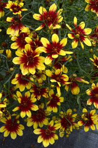 Tickseed - Coreopsis Bengal Tiger Photo Terra Nova Nurseries