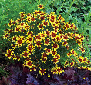 Drought tolerant Coreopsis verticillate landscaping.