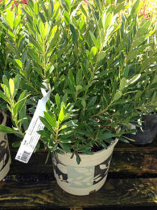 Cindy loves the evergreen Ink Berry shrub. It's great for wet areas.