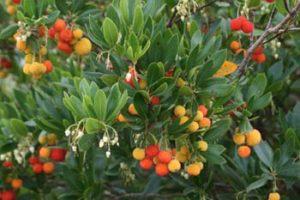 Drought tolerant evergreen arbutus unedo