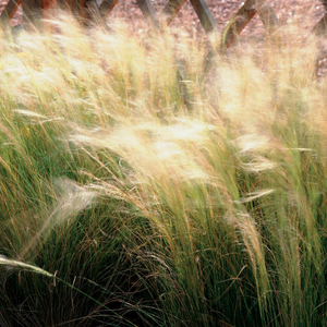Edited Mexican Feather Grass