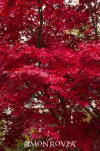 monrovia bloodgood japanese maple in low maintenance Portland landscape design.