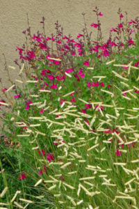 Low maintenance landscape design using Salvia Raspberry Delight Bouteloua BlondeAmbition